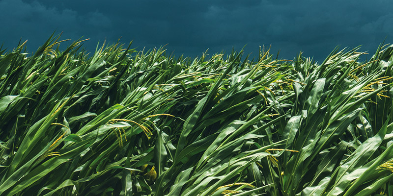 PLA de maíz