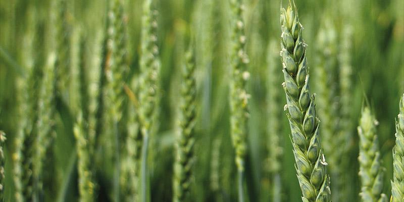Paja de trigo